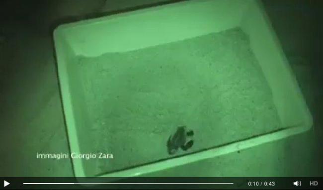 Castiadas 45 tartarughe appena nate prendono la via del for Tartarughe appena nate