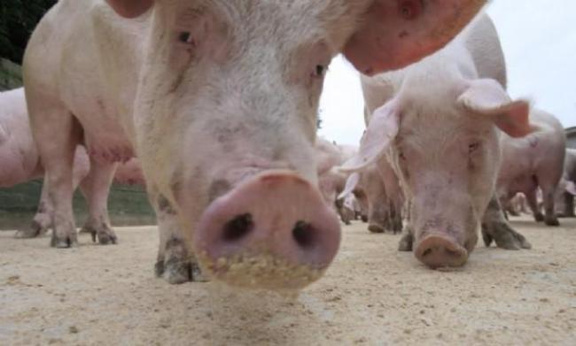 Lotta alla peste suina, sieropositivo l'80% dei maiali uccisi a Orgosolo